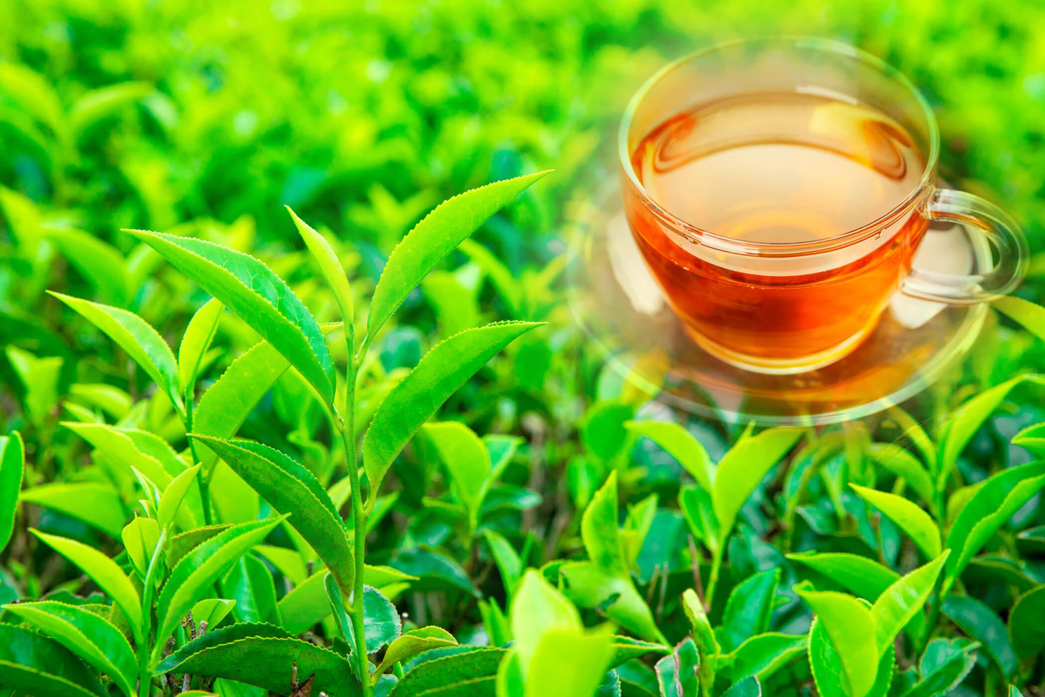 Top 10 Best Green Tea Brands in 2020